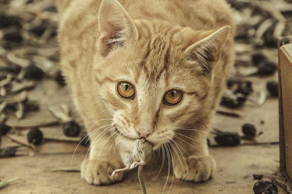gato ratón